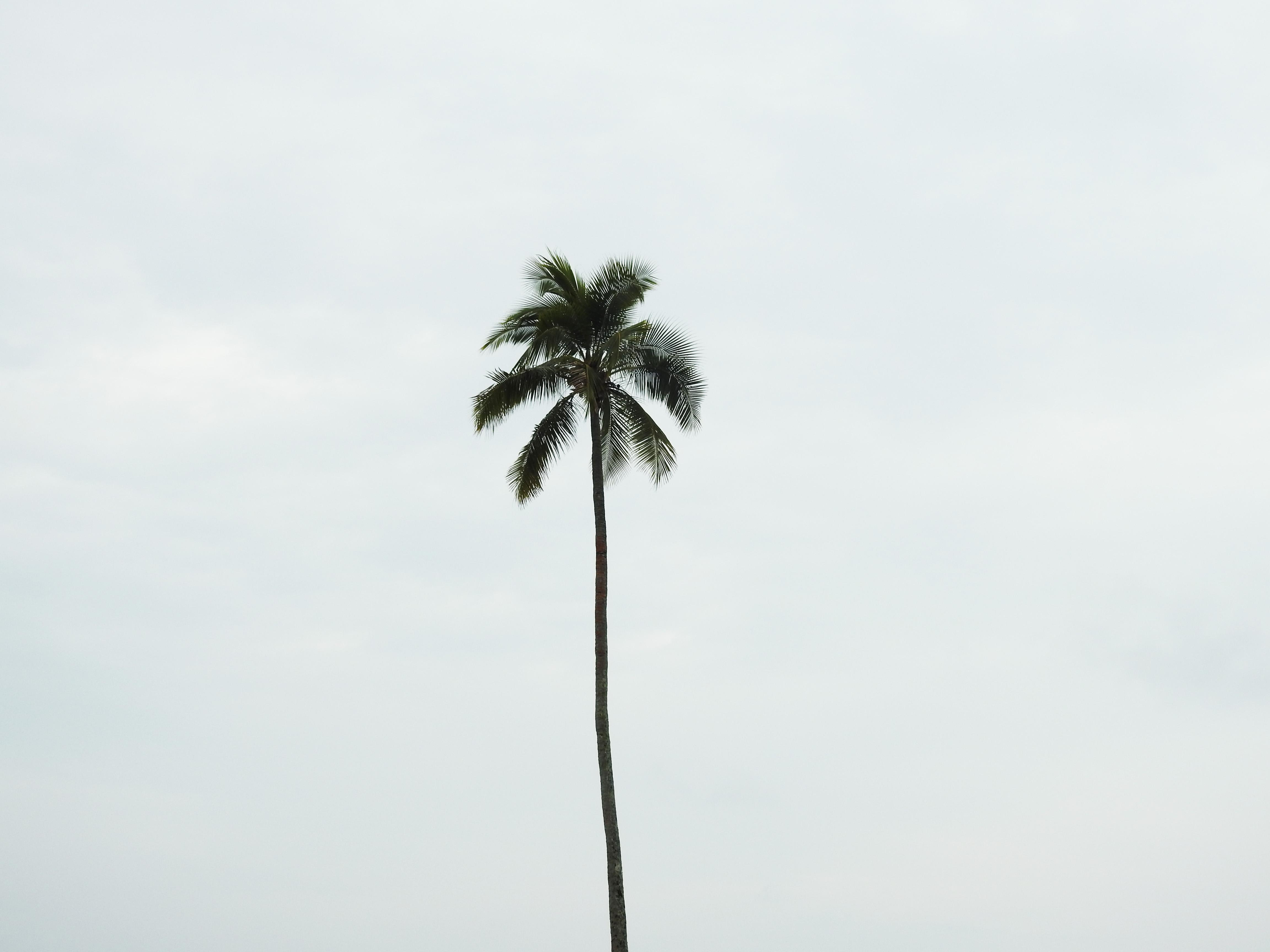 A lone palm
